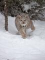 Canadian Lynx print