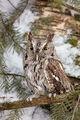 Pygmy Owl print