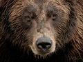Alaskan Brown Bear print