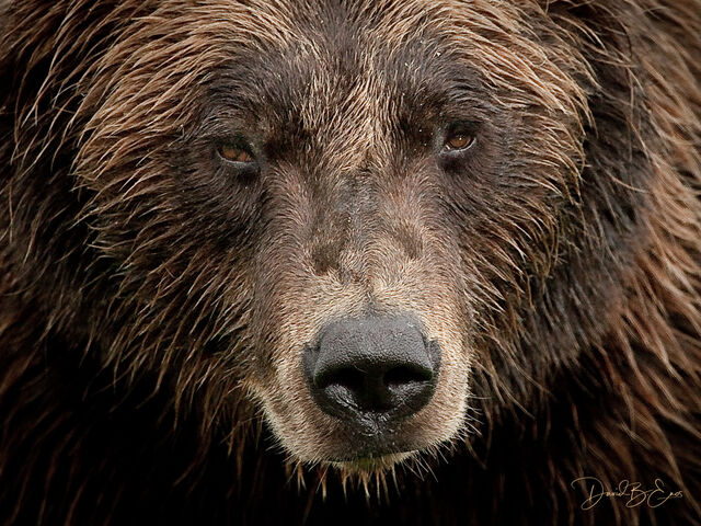 Alaskan Bear