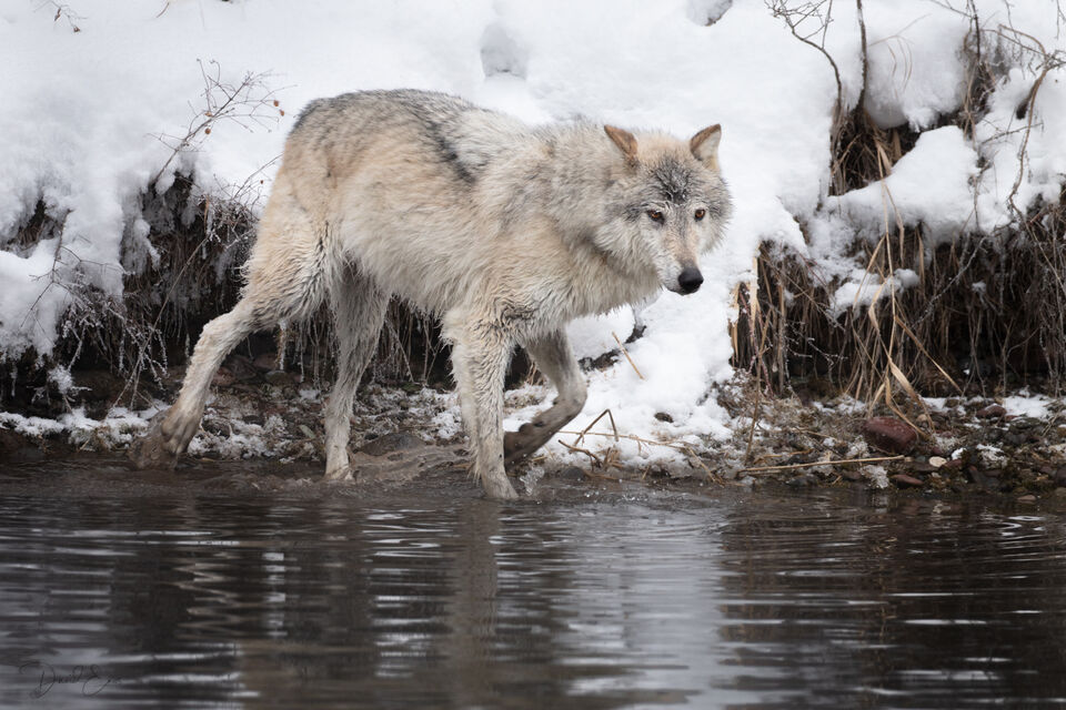 Tundra Wolf print