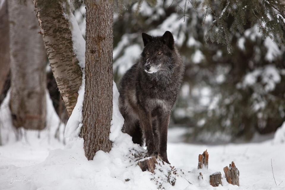 Black Wolf print