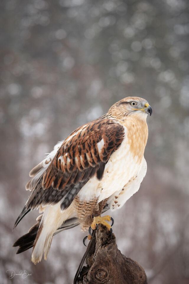 Ferruginous Hawk print