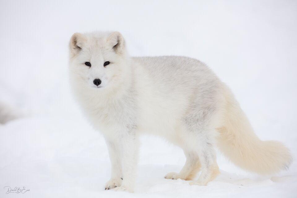 Arctic Fox Kit print