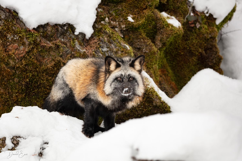Cross Fox